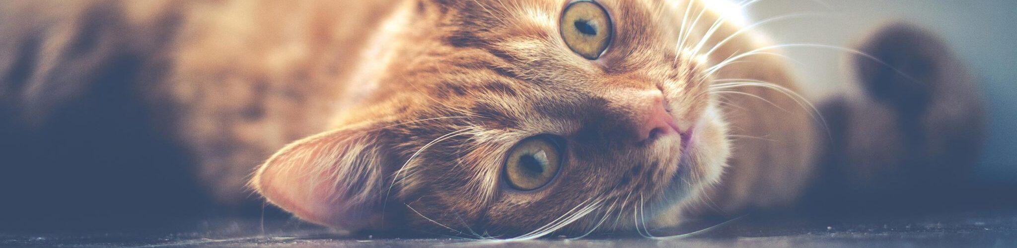 Gezelschapsdieren kat
