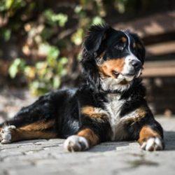 Berner Sennenhond