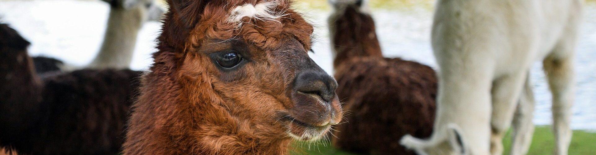 alpaca-2459599_1920 (1)