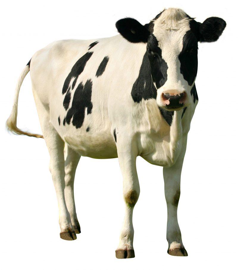 Salmonella Bij Melkvee