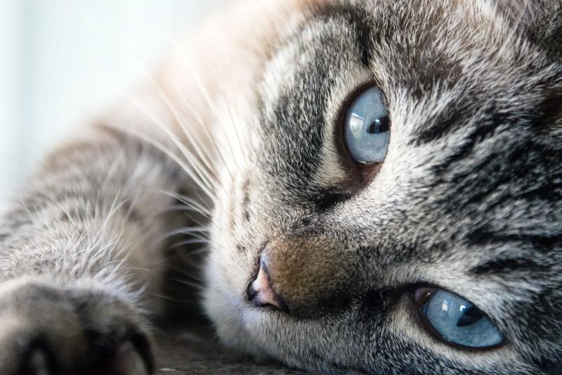 Kattenziekte: Een Dodelijke Virusinfectie In Opmars
