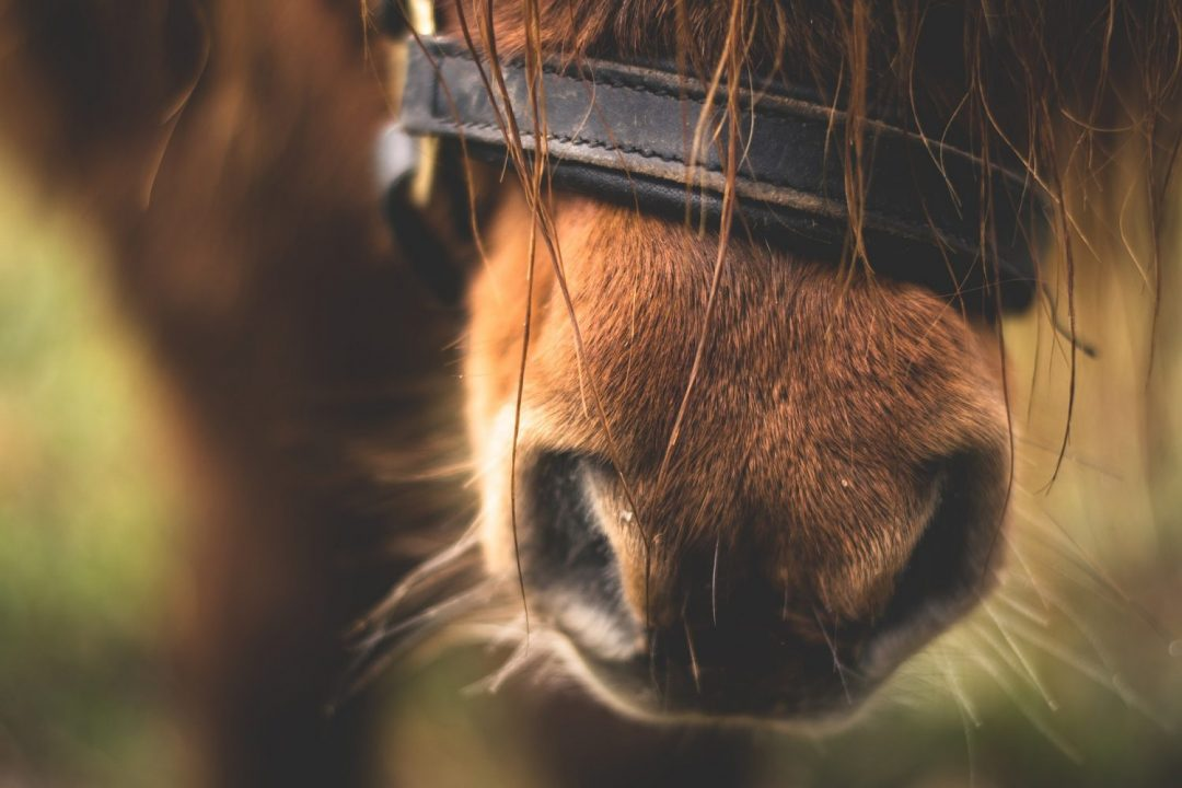 Influenza Bij Paarden In Nederland