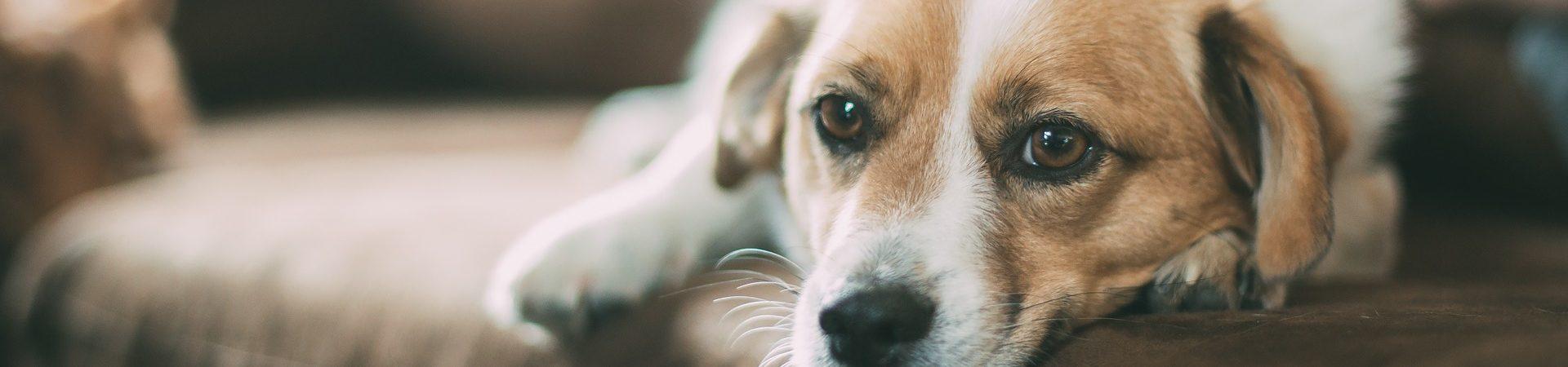 acupunctuur hond