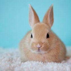 konijn sterilisatie