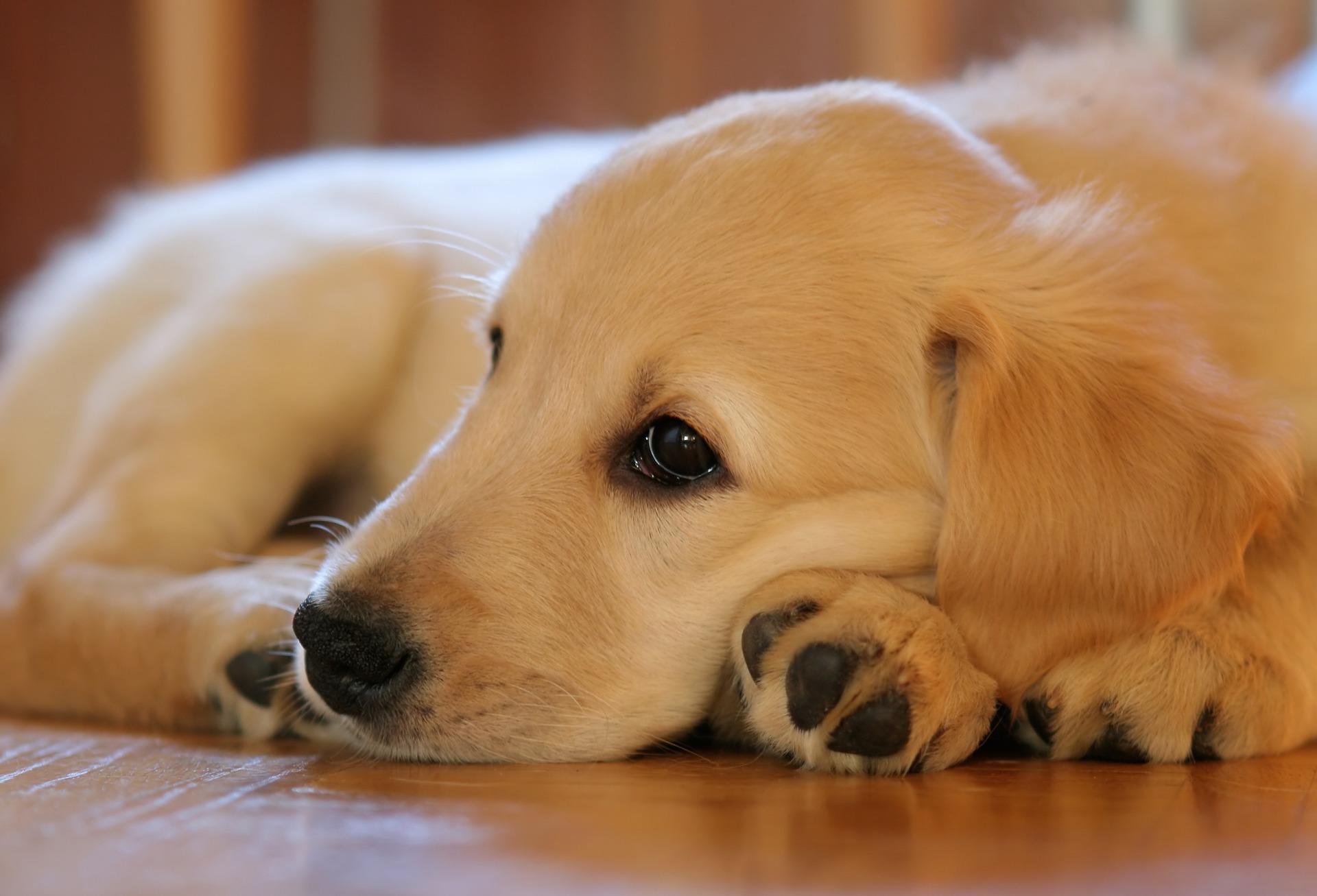 Schijndracht Hond